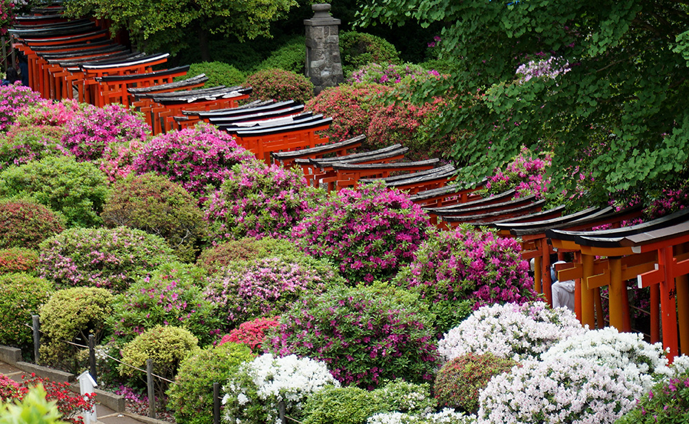 Azaleas and Gates in Tokyo Japan EnZed Design Helen Young